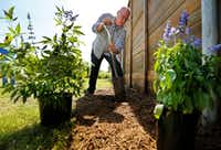 Horticulturist Daniel Cunningham digs a hole to plant Texas lilac after creating a new sheet-mulched flower bed at the Texas A&M AgriLife Research Center at Dallas.(Tom Fox/Staff Photographer)