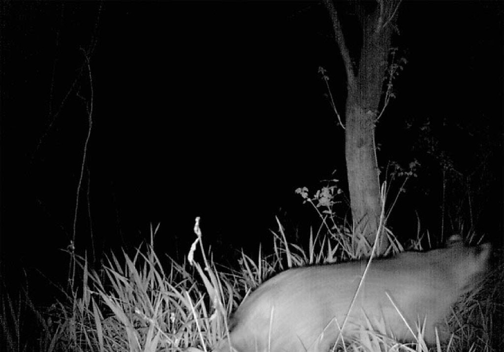 A 2015 photo from a game camera required an on-site visit from urban wildlife expert Chris Jackson to conclude whether it shows a mountain lion or a bobcat. (David Walker/DFWUrbanWildlife.com)