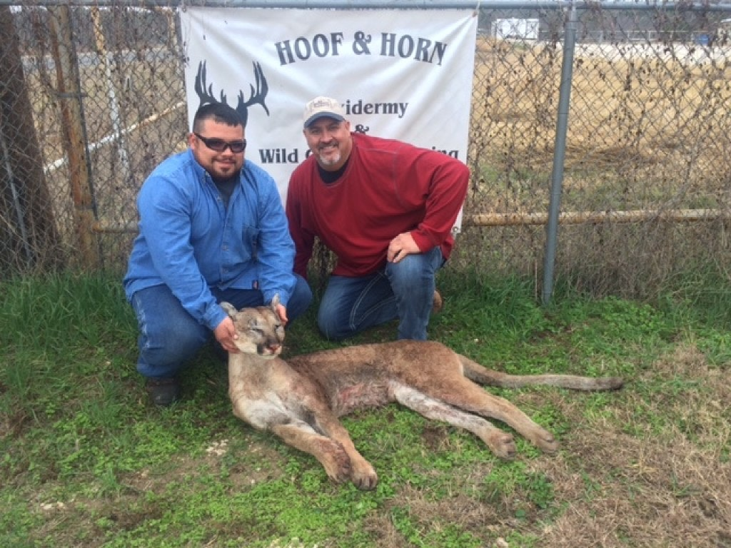 Wesley Monk (left) shot a mountain lion while deer hunting in Somervell County, about 50 miles southwest of Fort Worth, in October 2014. With him was Steve Leech, a taxidermist with Hoof and Horn Taxidermy of Glen Rose.(Steve Leech)