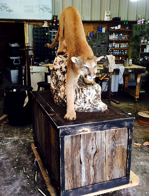 A taxidermist in Glen Rose mounted this mountain lion that Wesley Monk shot and killed in October 2014 while deer hunting in Somervell County, about 50 miles southwest of Fort Worth. A game warden said at the time that it was the first mountain lion killed in the area in a dozen years. (Steve Leech)