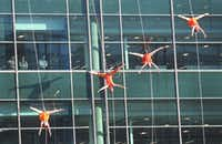 Aerial dancers perform on the Toyota building, as employees watch from their office windows, at the grand opening ceremony of the Toyota headquarters in Plano, Texas, photographed on Thursday, July 6, 2017. (Louis DeLuca/The Dallas Morning News)(Louis DeLuca/Staff Photographer)