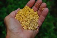 Corn gluten meal in granular form is cleaner but less effective for controlling weeds. (Howard Garrett)