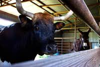 The barn animals on Wolfgang Skledar's land in Krum are a bull and a donkey. He said he used to have 10 head of cattle but got rid of them after being annexed.(Kyle Martin/Denton Record-Chronicle)