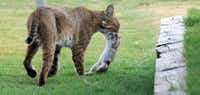 A bobcat captures a rabbit in Plano.<div><br></div>(Steve Susi/File 2011)
