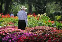 Phil Huey surveys a trial bed during the Plant Trials Field Day at the Dallas Arboretum and Botanical Garden in Dallas. (Louis DeLuca/Staff Photographer)