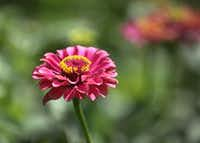 A zinnia bloom in a trial bed at the Plant Trials Field Day at the Dallas Arboretum and Botanical Garden.(Louis DeLuca/Staff Photographer)
