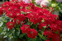 EnduraScape  Red  Verbena from Southern Living Plant Collection. (Southern Living Plant Collection)