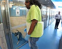 New Dallas City Council member Kevin Felder, right, watches as Justin Bickems, a formerly homeless man who now works at the shelter, makes the rounds at the shelter Wednesday. Felder visited the Dallas Animal Services shelter to talk about his possible pilot program to train homeless people to catch and train dogs, photographed on Wednesday, July 19, 2017. (Louis DeLuca/Staff Photographer)
