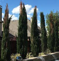 A row of Italian cypress exhibiting dead patches, which has been a widespread problem in the Dallas-Fort Worth area, are seen here in April in Lantana. (Janet Laminack)