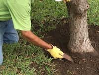 Loosen the soil (carefully) with a large garden knife or chisel when exposing root flare on trees. (Howard Garrett)