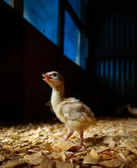 A week-old turkey poult wanders about a heated barn on the Bois d'Arc farm in Allens Chapel.(Tom Fox/Staff Photographer)