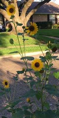 Lessons from sunflowers: Look toward the sky for answers.(Leslie Barker/Staff)