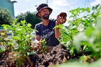 Drew Demler, manager of Big Tex Urban Farms, picks Kennebec potatoes for donation at the farm inside Fair Park in Dallas.(Ben Torres/Special Contributor)