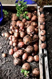 These Kennebec potatoes were among items recently picked as part of a donation.(Ben Torres/Special Contributor)