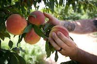 Jay Hutton picks peaches at Hutton Peach Farm in Weatherford, Texas.(Joyce Marshall/AP)