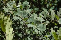 Lacey oak (<i>Quercus laceyi</i>) is a beautiful small to medium tree with blue-green mature foliage, peach-colored new growth and similar fall color.(Howard Garrett/Special Contributor)