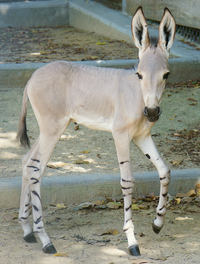"<p><span style=""font-size: 1em; background-color: transparent;"">One-week-old Naima explores her behind-the-scenes habitat at the Dallas Zoo. She was born July 19 to first-time mother Hani, and father Abai.</span></p>(Dallas Zoo)"