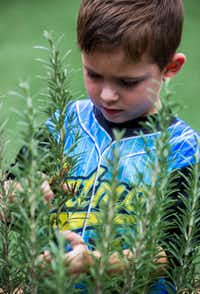 James Kelly Martin, 4, clips a sprig of rosemary as preschool students touch, smell and harvest herbs in the garden behind The Orchard School.(Ashley Landis/Staff Photographer)