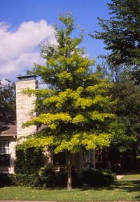 Full blood pin oak(Howard Garrett/Special Contributor)