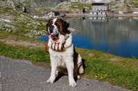 Sansone, a 2-year-old St. Bernard from Lusevera, Italy, was right at home posing for pictures on the St. Bernard Pass.(Bruce N. Meyer)