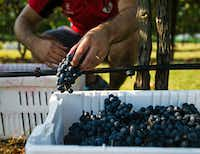 After the grapes are picked, they are put into baskets and brought to the sorting table at the Eden Hill Vineyards in Celina.(Tailyr Irvine/Staff Photographer)