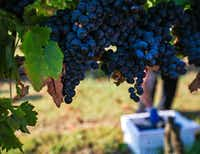 Tempranillo grapes ready for harvest at the Eden Hill Vineyards in Celina.(Tailyr Irvine/Staff Photographer)