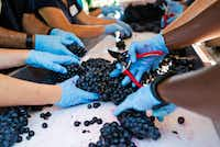 Grapes are double-checked at the sorting table before they head into the de-stemmer at the Eden Hill Vineyards in Celina.(Tailyr Irvine/Staff Photographer)