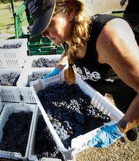 Chari Richter grabs a crate of grapes to load onto the sorting table at the Eden Hill Vineyards in Celina.(Tailyr Irvine/Staff Photographer)