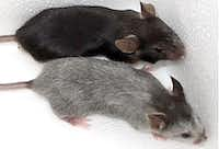 The black mouse (top) is the control mouse, and the gray-haired mouse resulted from having SCF deleted in the KROX20 cells. (Dr. Lu Le/UT Southwestern Medical Center)