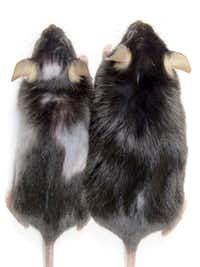 The mouse at right is the control mouse, and the one on the left has bald patches when it started to lose hair after KROX20 cells were deleted. (Dr. Lu Le/UT Southwestern Medical Center)