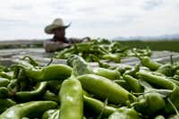 Sample the new crop of Hatch chiles at Hatch's annual chile festival in late August. (New Mexico Department of Tourism)