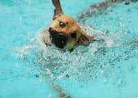 "A dog swims during the ""Paws in the Pooloza"" event at the Crawford Park pool in Cedar Hill on Saturday.(Andy Jacobsohn/The Dallas Morning News)"