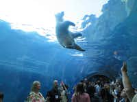 "The ""Journey to Churchill"" at the Assiniboine Park Zoo in Winnipeg is a wonderful way to learn about polar bears and see them up close. (Picasa)"