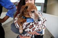 Donna Rosen holds her dog Bobo while waiting for an Uber outside DFW International Airport. Bobo was missing for over a year before Rosen was able to track him down in Oregon.(Rose Baca/Staff Photographer)