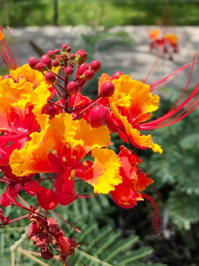 This Beautiful Tropical Plant From Barbados Is A Great Addition To Texas Gardens