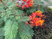 The pride of Barbados (<i>Caesalpinia pulcherrima</i>) has foliage with a delicate and lacy texture.  (Howard Garrett/Special Contributor)