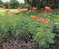 The pride of Barbados (<i>Caesalpinia pulcherrima</i>) is a great option for North Texas.(Howard Garrett/Special Contributor)