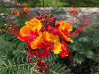 The pride of Barbados (<i>Caesalpinia pulcherrima</i>) is the national flower of Barbados and a great option for North Texas. (Howard Garrett/Special Contributor)
