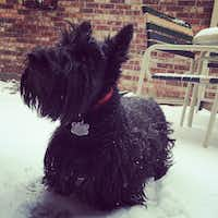 Margie the Scottish terrier(Tyra Damm)
