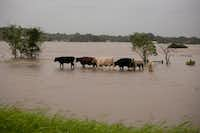 Cattle walk in floodwaters in La Grange, where the Colorado River was cresting on Monday morning. (The New York Times)