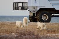A mom and her cubs check out another vehicle on the tundra. (Bruce N. Meyer)