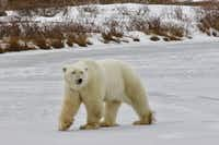 "Our first day on the tundra, we saw about 25 polar bears.&nbsp;(<p><span style=""font-size: 1em; background-color: transparent;"">Bruce N. Meyer</span></p>)"