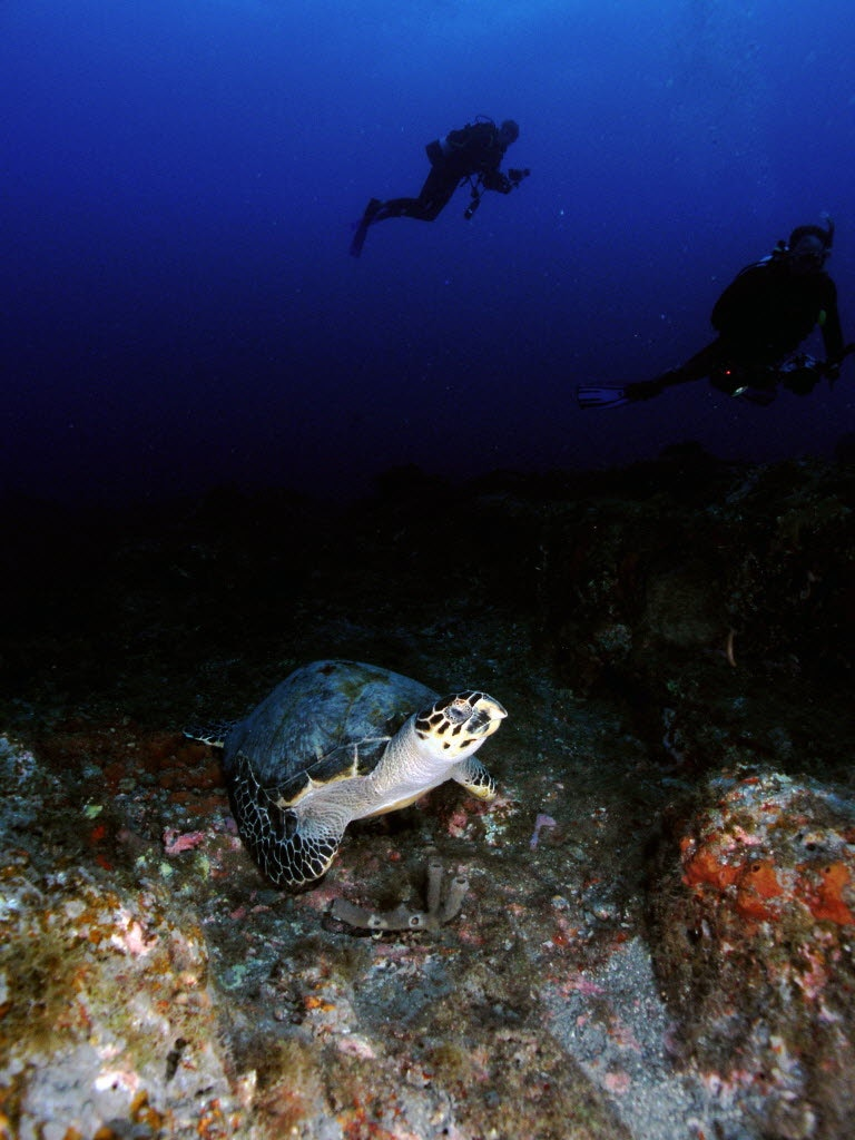 A Hawksbill Sea Turtle Rests On The Bottom At Stetson Bank While Divers  Observe From A Distance At Flower Garden Banks National Marine Sanctuary.