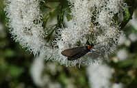 Bug on white mistflower(Howard Garrett/Special Contributor)