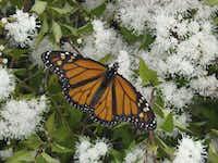 Monarch butterfly on white mistflower (Ageratina wrightii)(Dale Clark/Digital File_UPLOAD)