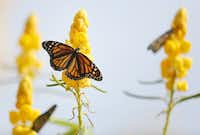 Monarch butterflies remain on a plant after being released during the Flight of the Monarch annual event at Central Park in Grand Prairie.(Andy Jacobsohn/Staff Photographer)
