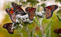 Frostweed goes unnoticed until its fall flowers are draped in migrating monarch butterflies. (Larry Waisanen)