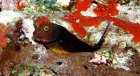 A Redlip Blenny perches on top of a coral head, resting on its pelvic fins. (G.P. Schmahl/Flower Garden Banks National Marine Sanctuary)