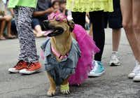 A pup sports '80s clothing during the pooch parade at Easter in Lee Park, hosted by the Lee Park and Arlington Hall Conservancy and the City of Dallas on April 16, 2017.(Ben Torres/Special Contributor)