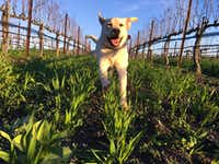 Dixie runs through Talley Vineyards in San Luis Obispo's wine country on California's Central Coast. (Talley Vineyards)